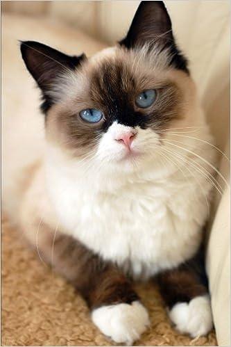 Buy ragdoll cat in india