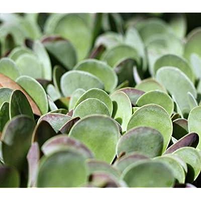 2.5 Inch Live Plant Succulent Kalanchoe Thyrsiflora Flapjacks Easy to Grow - WSR1111 : Garden & Outdoor