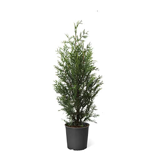 Thuja Green Giant Trees - 3-4 feet Tall- Large, Tall Evergreen Trees for Instant Privacy! - Oversize Arborvitae Thuja Green Giants | Cannot Ship to AZ