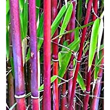 """Rainbow Bamboo, Fargesia Scabrida 6-12"""" Tall Potted Plant, Great as a Accent Plant, Nice starter plant"""