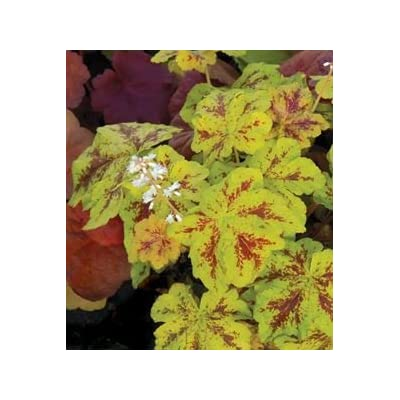 "(1 Gallon - Small) Heucherella 'Yellowstone Falls' Foamy Bells, Evergreen Groundcover. Chartreuse Lobed Leaves with Deep Crimson Markings, Stems Trail 36"" in a Container ~ Ideal for Hanging Baskets : Garden & Outdoor"