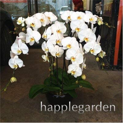 Kasuki 100pcs Phalaenopsis Orchid,Phalaenopsis Plants,Bonsai hydroponic Flower Bonsai for Four Seasons, Rare Orchid Flower Easy to Grow - (Color: 14): Garden & Outdoor