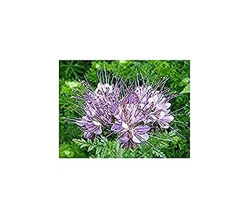Phacelia 1 kg Gründünger Bienenweide Bienen Büschelblume Samen