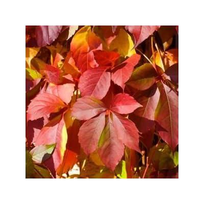 Parthenocissus-Red-Wall - QT Pot (Shrub) : Garden & Outdoor