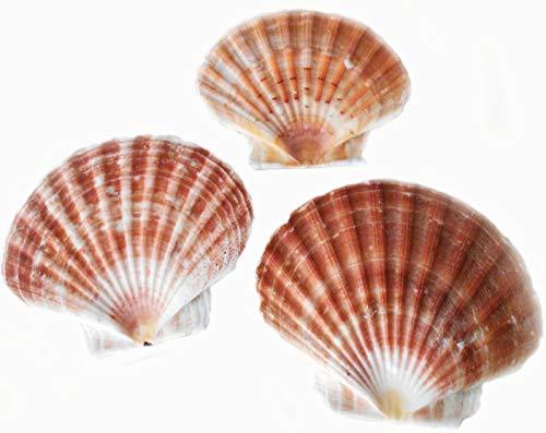 3 Irish Flat Scallops Shells Seashells Extra Large 5
