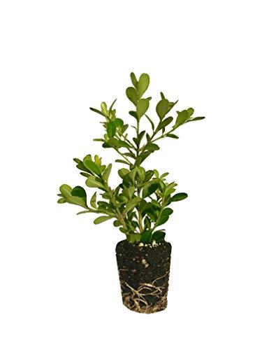 Japanese Boxwood - 10 Live Plants - 2