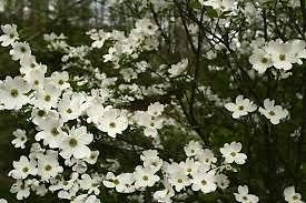 Amazoncom 1 Gallon Pot Cherokee Princess White Dogwood Tree