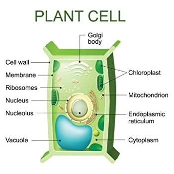 Amazon.com: Plant Cell Biology - NEW Classroom Biology ...