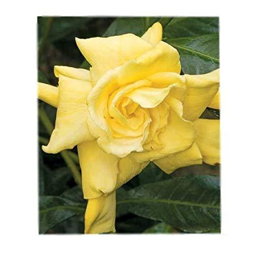 Golden Magic Gardenia - Cape Jasmine - Live Plant - 4 Inch Pot (Jasmine Gardenia Cape)