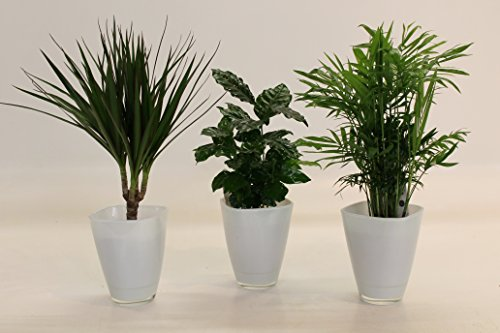African-Set, Dracena Marginata, Kaffee-Pflanze + Zimmerpalme + Dekotopf, weiß
