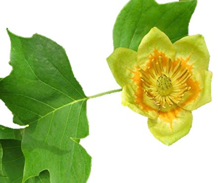Tulip Poplar Tree - Liriodendron tulipifera - Healthy Established Roots - One Trade Gallon - 1 Plant by Growers Solution ()