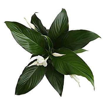 Costa Farms Live Indoor Flowering Peace Lily In Scheurich Premium Décor-ready Ceramic Planter, Great Gift 4