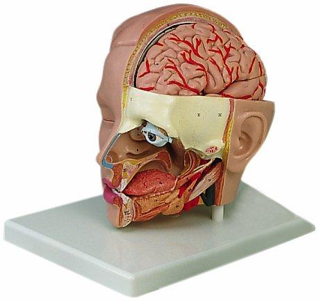 頭部,6分解デラックスモデル,台付   B007NCUSFU