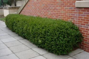 Makes an Excellent Hedge Very Cold Hardy 5 Gallon mounded Shrub Korean Boxwood Wintergreen Compact Remains Green Year-Round