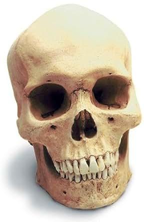 Amazon.com: Skullduggery 0200 Human Male Skull: Industrial