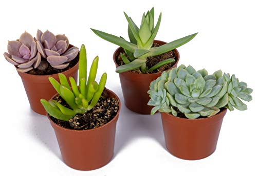 Seville Farms SUC001 Mini Succulent (4 Pack), Green by Seville Farms