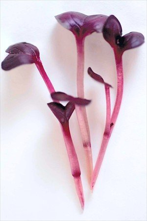 Colorful Microgreens Seeds Assortment: Eight 4 Oz. Resealable Bags of Micro Greens Seed: Red Amaranth, Purple Basil, Sango Radish, Purple Kohlrabi, Red Cabbage& More. by Mountain Valley Seed Company (Image #6)