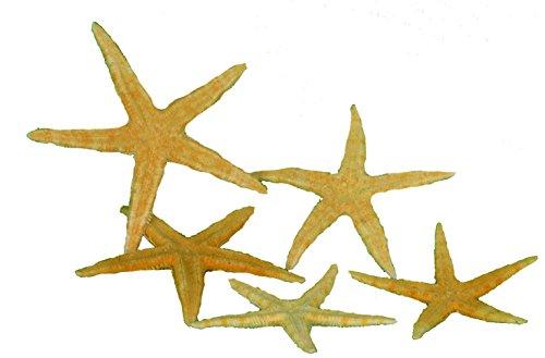 5 echte amerikanische Seesterne flach ca. 7-10cm