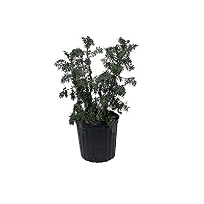 Ruda, Rue, Live Plant, 2 Feet Tall, 3 Gal Container from Florida : Garden & Outdoor