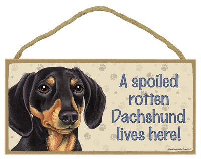Dachshund (Black and brown) - A spoiled