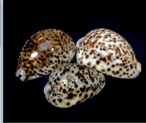 Lot of 10 Tiger Cowrie Animal Print Polished Decorative Shells Beach Wedding Craft Decor