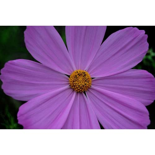 """Top (ACOS)~COSMOS """"LOVELY LAVENDER""""~Seeds!!~~~~~~~~Big Boys!"""