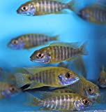 """Family of (5) African Cichlids 2"""" Live Tropical"""