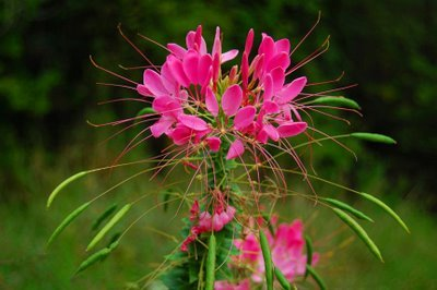 50+ Rose Queen Cleome Flower Seeds / Reseeding Annual - Cleome Rose Queen