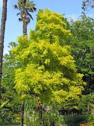 robinia frisia false acacia potted large trees 1 8m. Black Bedroom Furniture Sets. Home Design Ideas