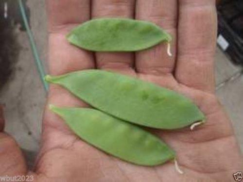 Snow Peas Grow - Pea, Oregon Giant Snow,Organic,Heirloom,Non-GMO (300 Seed) Grow Your Own!