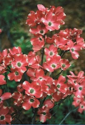 5 Red Pygmy Dogwood Seeds Tree Flowering Hardy Fall Color Flower Flowering Bloom