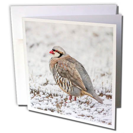 Antelope Stand - 3dRose Danita Delimont - Birds - Utah, Antelope Island State Park, Chukar stands in the snow. - 12 Greeting Cards with envelopes (gc_260205_2)