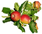 Gala Dwarf Apple Tree - healthy bare root Fruit Trees 2-4 Ft -1 Tree by Growers Solution