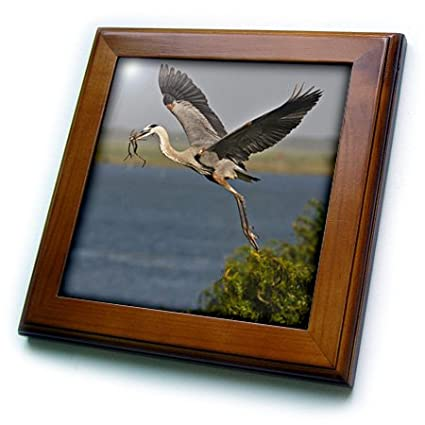 USA Us44 Ldi0896 Larry Ditto Framed Tile 8 by 8-Inch Texas 3dRose ft/_147002/_1 Great Blue Heron Bird with Nest Material