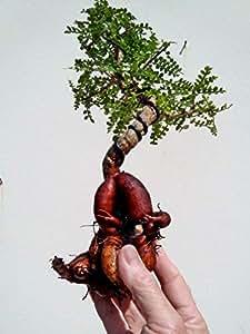 Operculicarya Decaryi Bonsai- Natural Bonsai - Unusual Plant from Madagascar