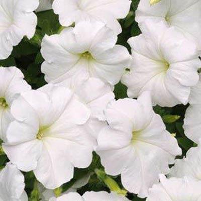 Petunia Easy Wave White Pelleted Flower Seed 100 (Easy Wave)
