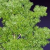 10 Seeds of Ming Fern 2044 (Asparagus Myriocladus)