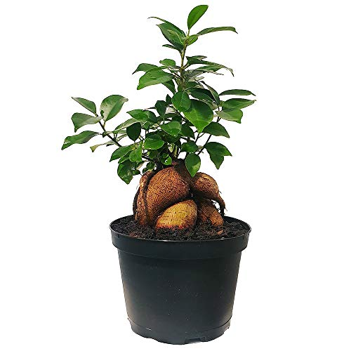 Which is the best banyan plant?