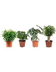 Plantas de interior de Botanicly – 4 × Ficus Green Kinky, Coffea, Alocasia, Ficus Benjamina – Altura: 25 cm
