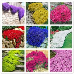 100 pcs/bag Creeping Thyme Seeds or Multi-color ROCK CRESS Seeds - Perennial flower seeds Ground cover flower garden decoration mix - Medium Garden Cover Rock