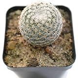 seedsnpots Mammillaria Elegans Cactus Live Plant