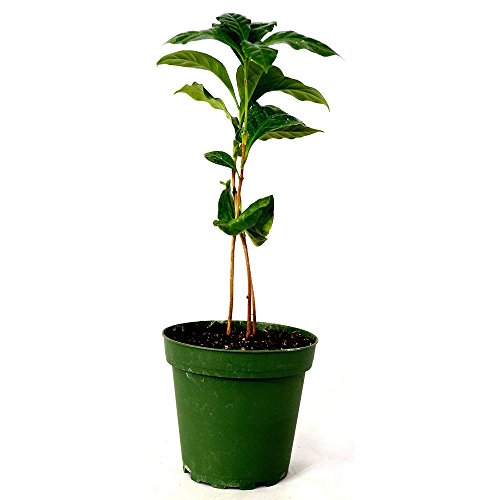 Arabica Coffee Plant 4'' Pot by Plant_Special