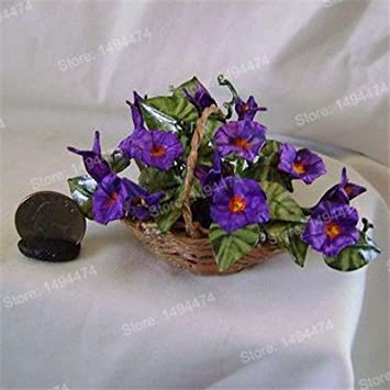 Amazon com : 100pcs mixed color flower seeds Mini Morning