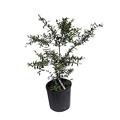 Pomegranate Tree, 2 Feet Tall, 3-Gal Container from Florida : Garden & Outdoor