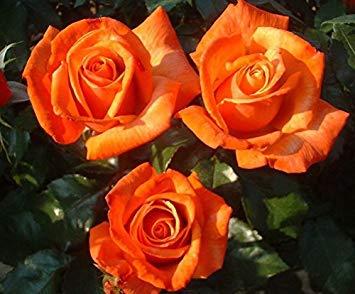 Fragrant Orange Memorial Giftplant 4lt Potted Hybrid Garden Rose Shop Meeko Remember ME