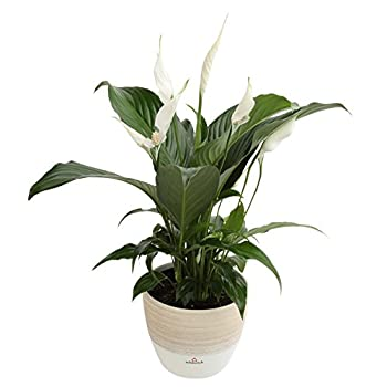 Costa Farms Live Indoor Flowering Peace Lily In Scheurich Premium Décor-ready Ceramic Planter, Great Gift 2