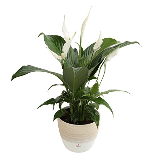 Bedroom plants for sleep peace lily