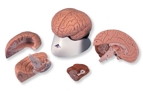 3B Scientific Classic Brain, 4-Part by 3B Scientific (Image #1)