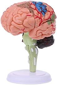 angwang Modelo anatômico do cérebro humano desmontado em 4D, anatomia, ferramenta de ensino médico, estátuas,