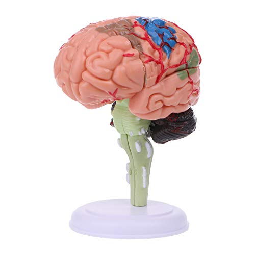 Jiulonerst 4D Anatomical Human Brain Model,Anatomy Perfect Teaching Tool for Biology and Anatomy Classes